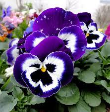 Viola tricolor L.
