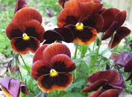 Viola x wittrockiana-1