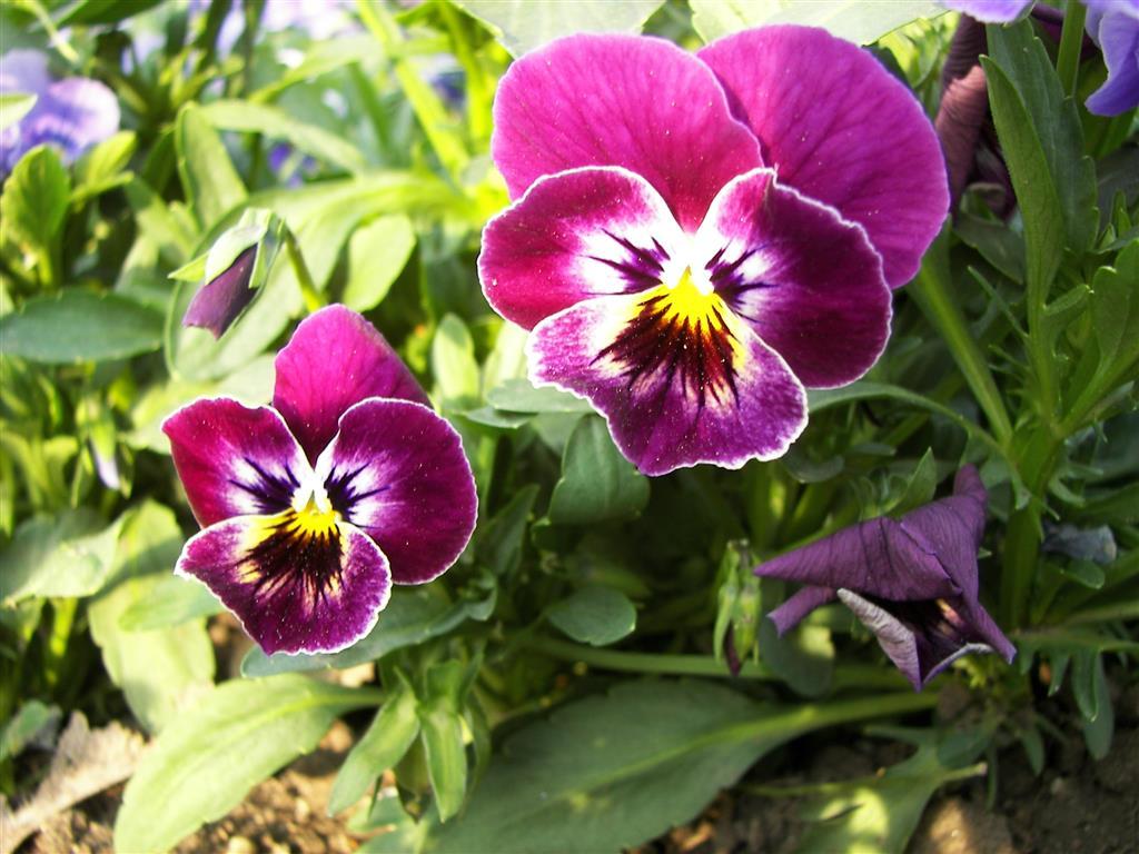 Viola_tricolor-02 (Medium)