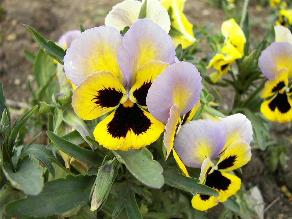 Viola_tricolor-04