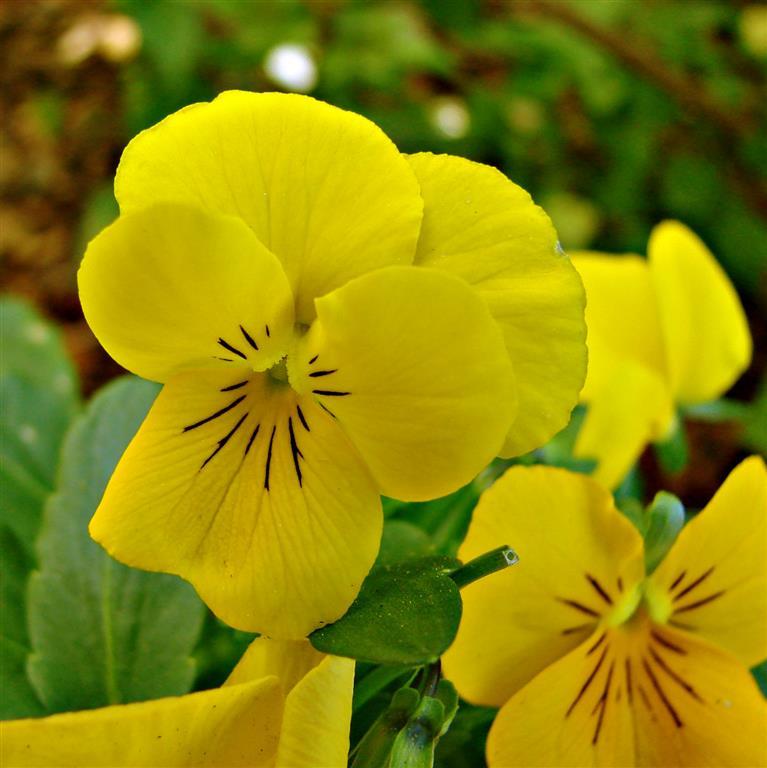 Viola_tricolor amarela