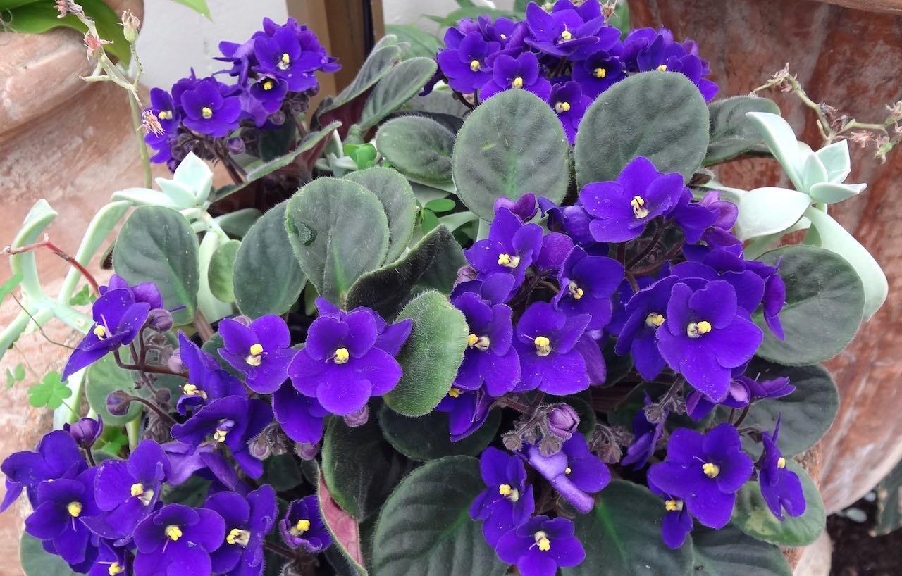 Violeta-Africana-Saintpaulia-ionantha1