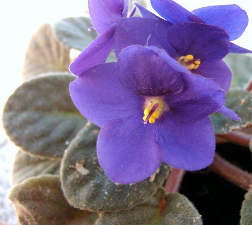 Violeta Africana - Saintpaulia ionantha_22