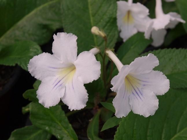 Violeta Streptocarpus