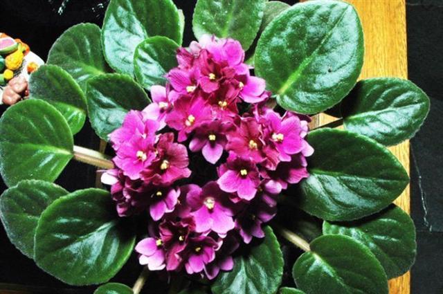 Violetas (Small)