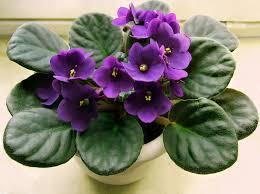 Violetas africanas (Saintpaulia ionantha