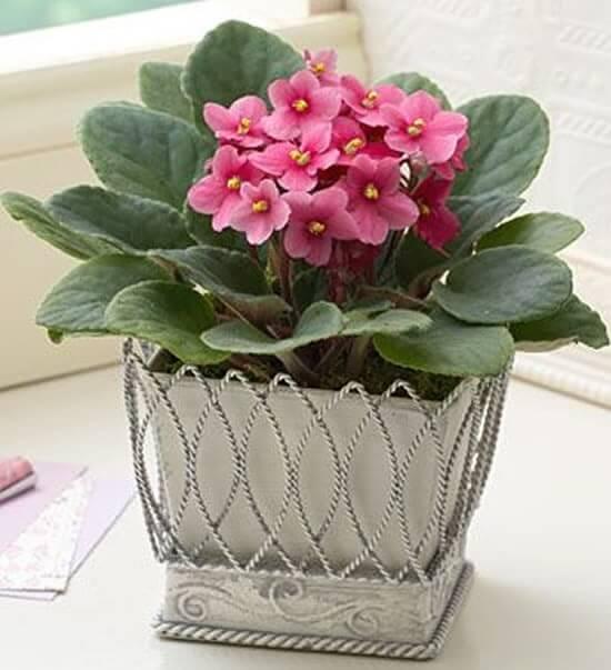 Violetas-cor-de-rosa