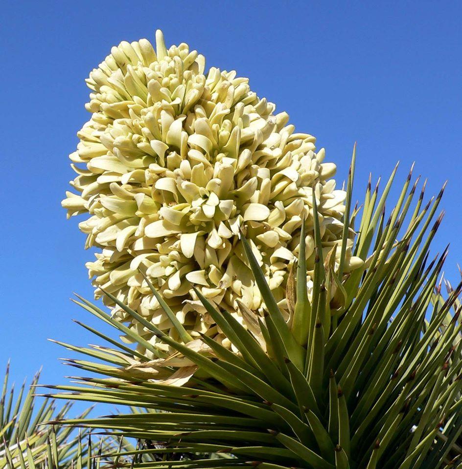 Yuca-elefante (Yucca gigantea)