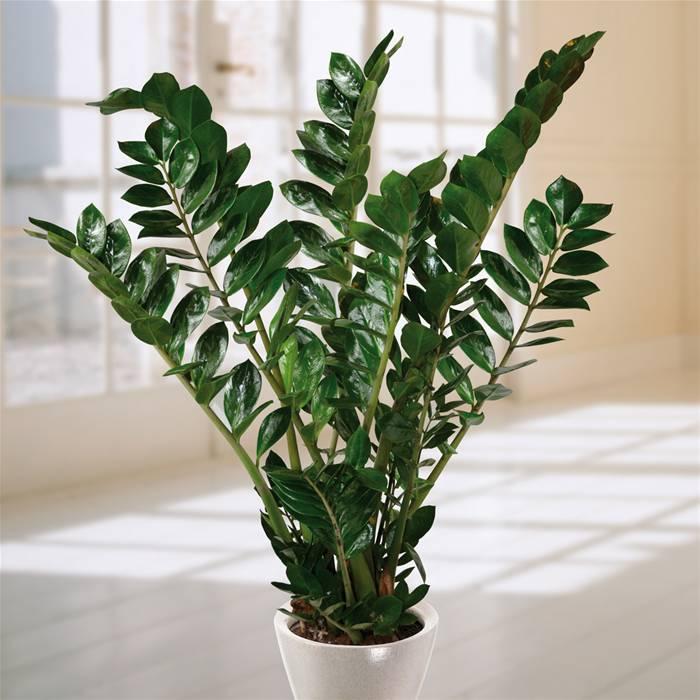 Zamioculca (Zamioculcas zamiifolia)