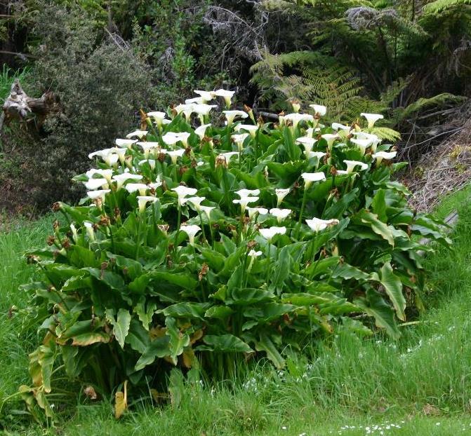 Zantedeschia aethiopica (L.) Spreng