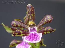 Zygopetalum sellowii