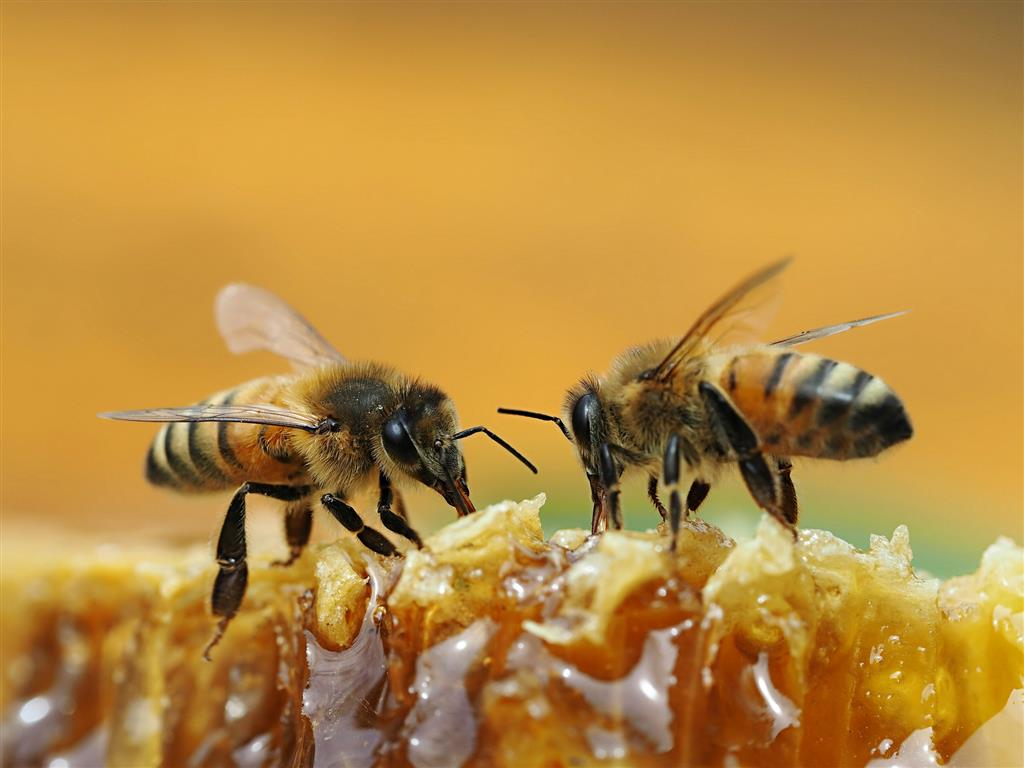 abelhas (Medium)
