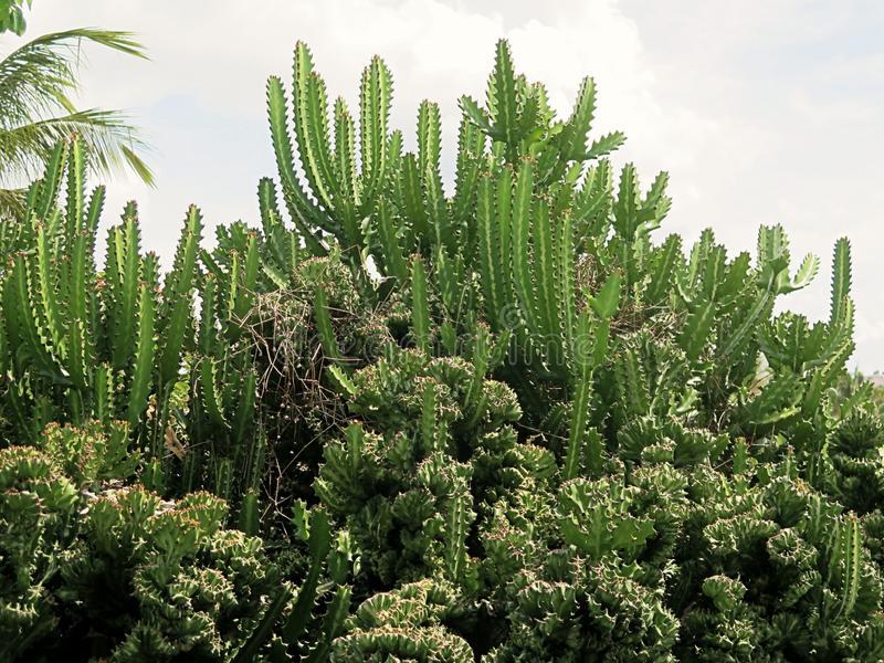 acanthocereus-tetragonus