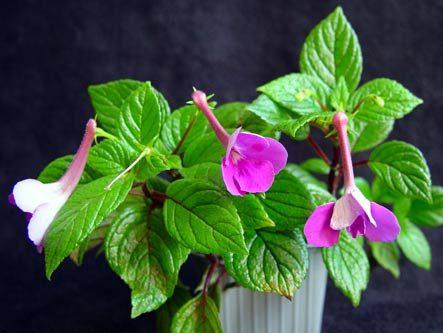 achimenes-grandiflora