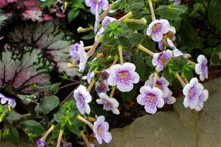 achimenes-longiflora2