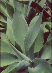 agave-atenuata