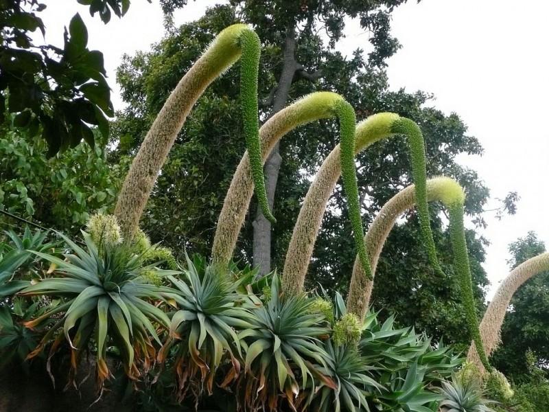 agave-dragao-agave-attenuata