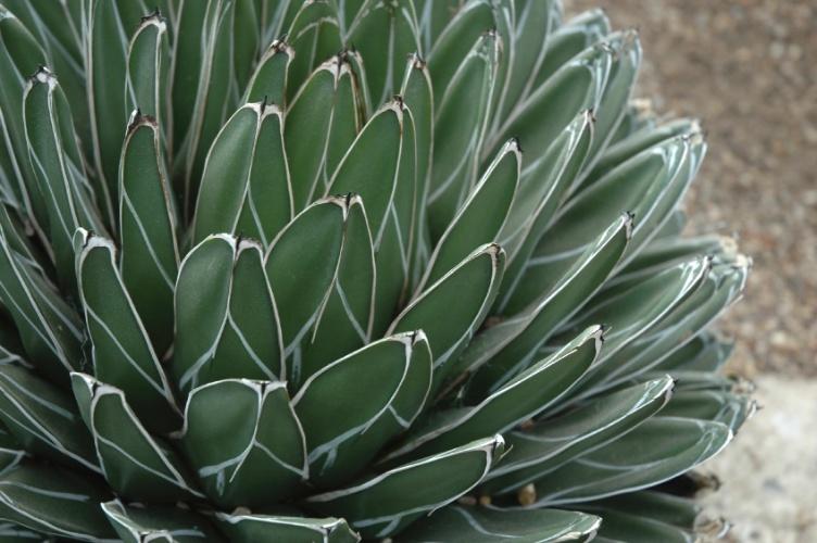 agave-victoriae-reginae-14
