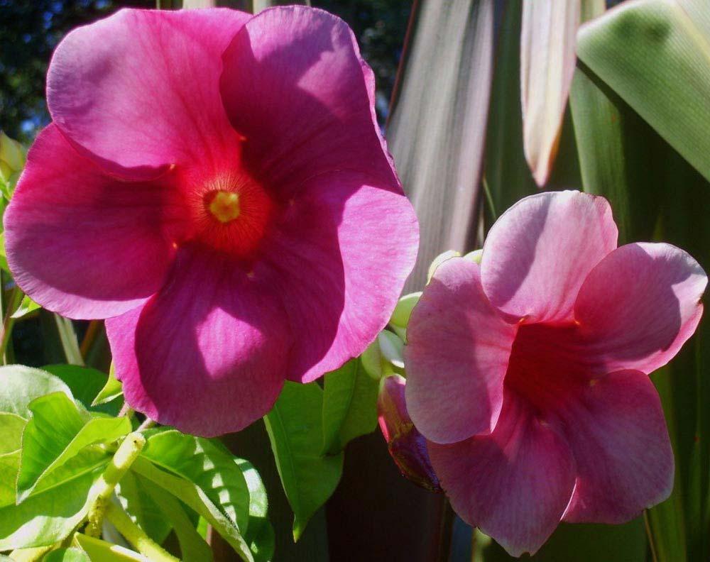 alamandas-roxas-flores