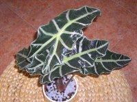 alocasia-amazonica