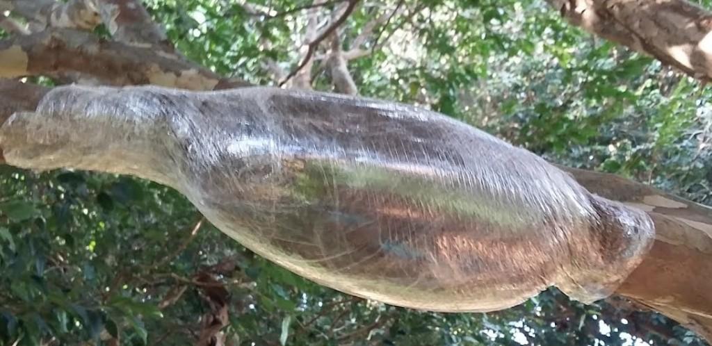 alporquia-jabuticabeira