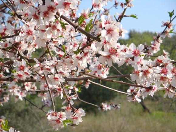 flores de amendoeira