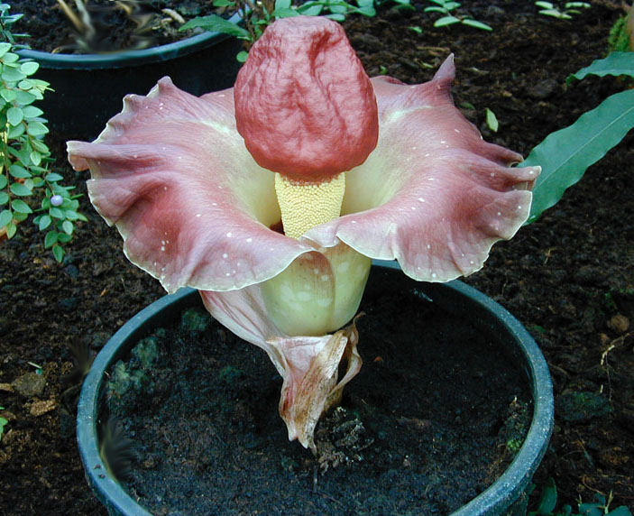 amorphophallus-