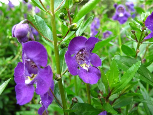 angelonia-angustifolia-2