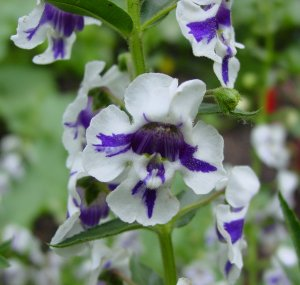 angelonia_angustifolia