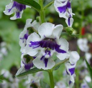 angelonia_angustifolia