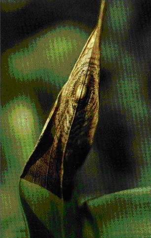 antrachose (fungo)