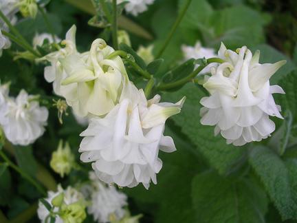 aquilegia_vulgaris