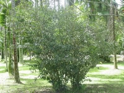 arbusto-de-camellia-sinensis