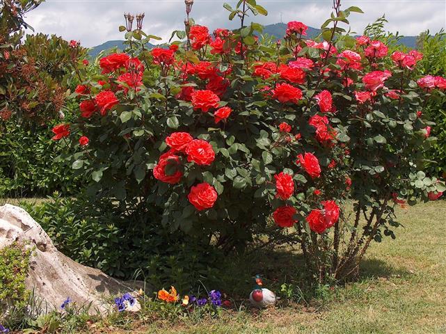 arbusto - hibiscus