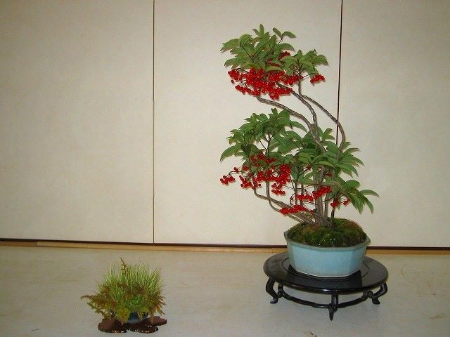 ardísia-bonsai