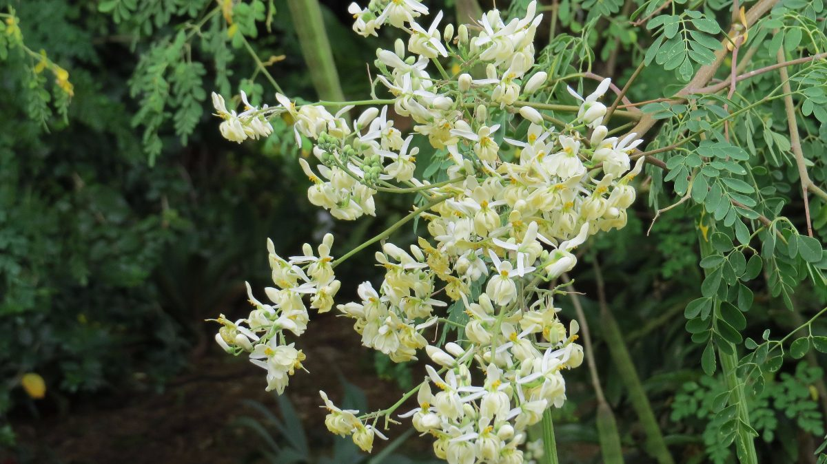 arvore-moringa-oleifera