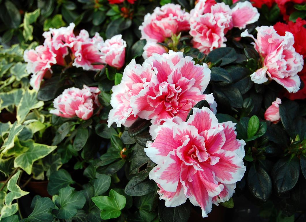 asalea_rhododendron_simsii15