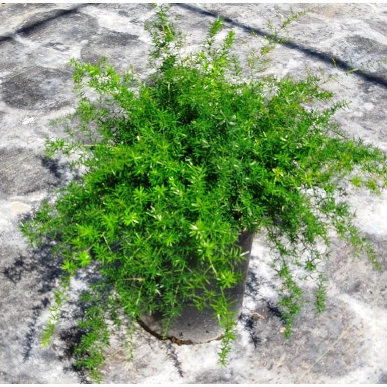 asparagus_sprengeri_05_1