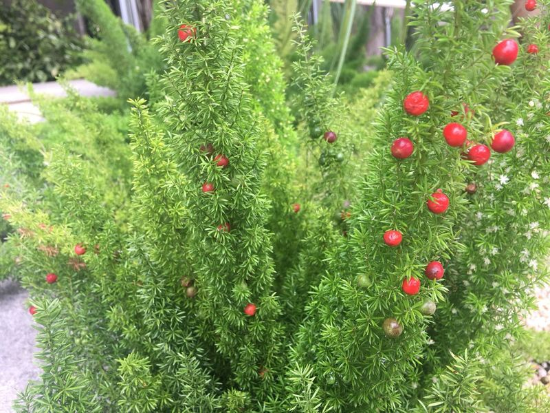 aspargo-pluma