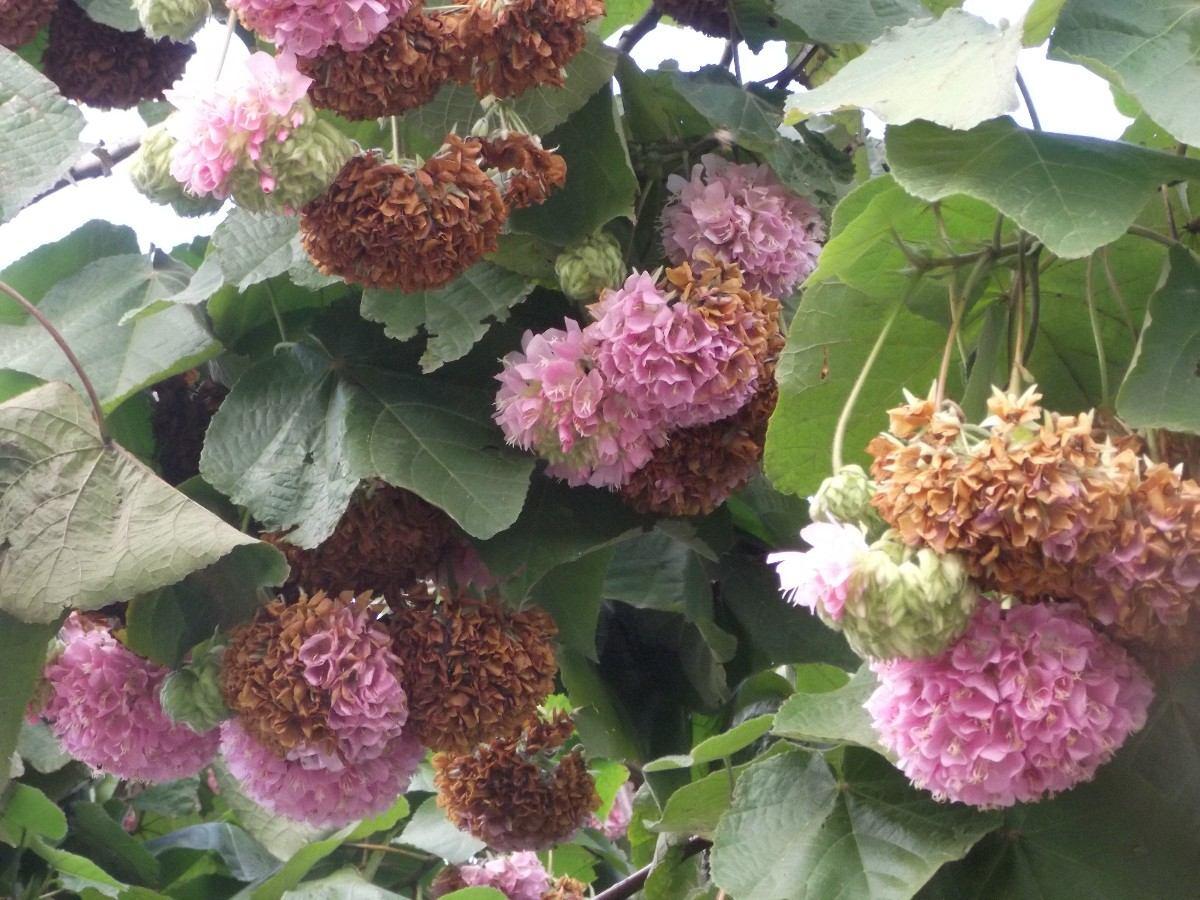astrapeia-rosa-dombeia-