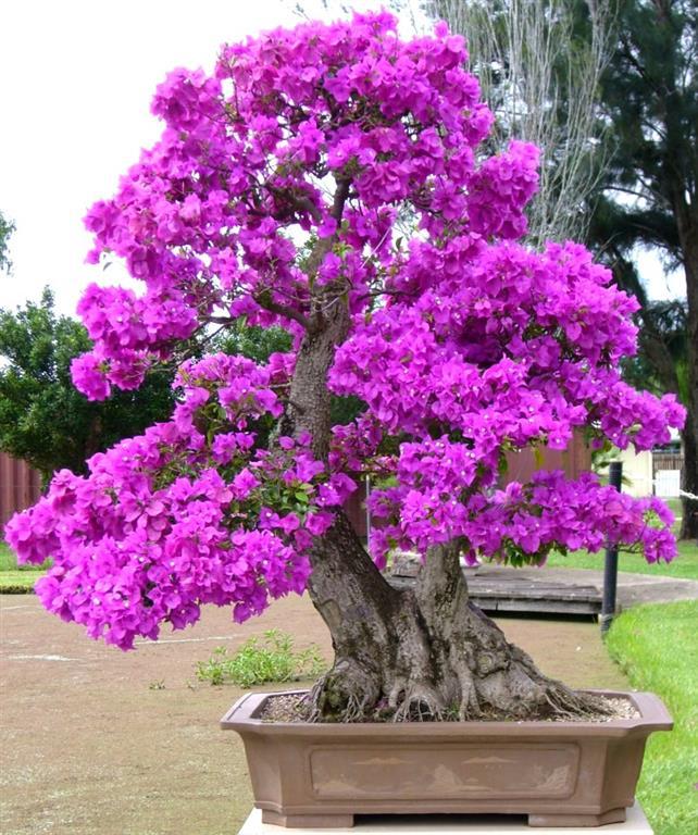 azaléia-bonsai