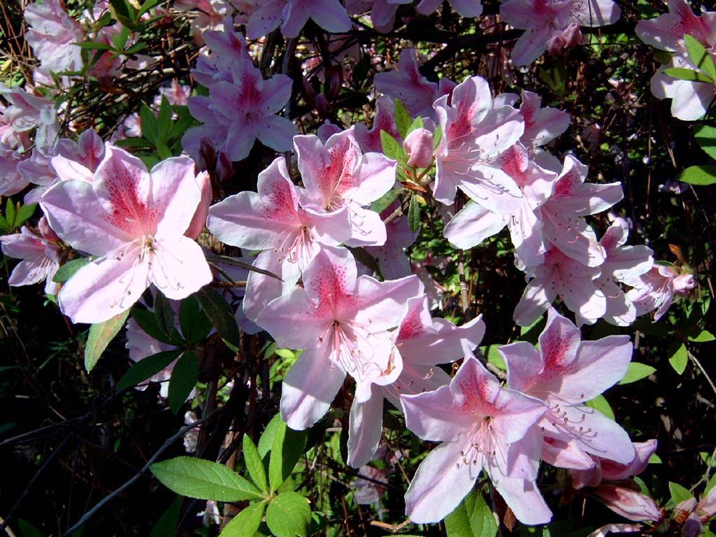 Cercas vivas e arbustos plantasonya o seu blog sobre - Azalea cuidados planta ...