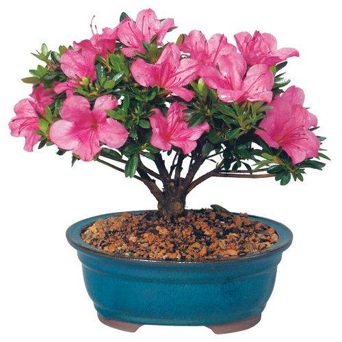 azalea-bonsai