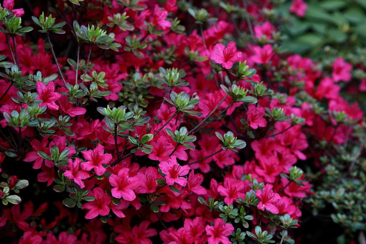 azalea-florers