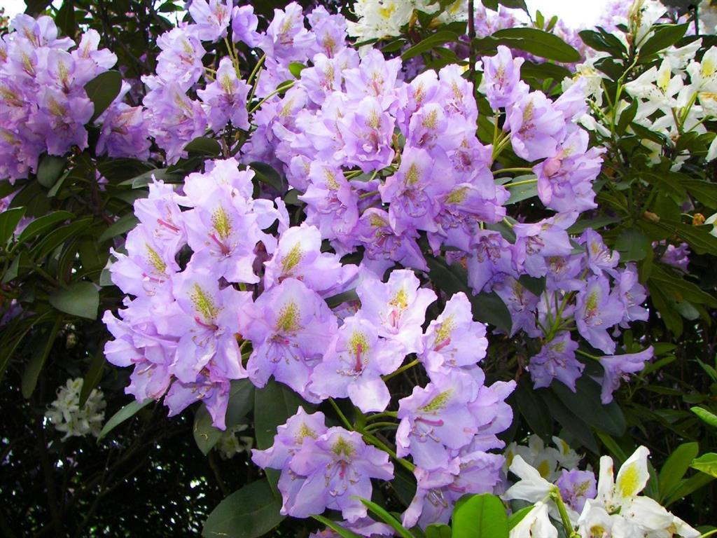 azalea-lilas