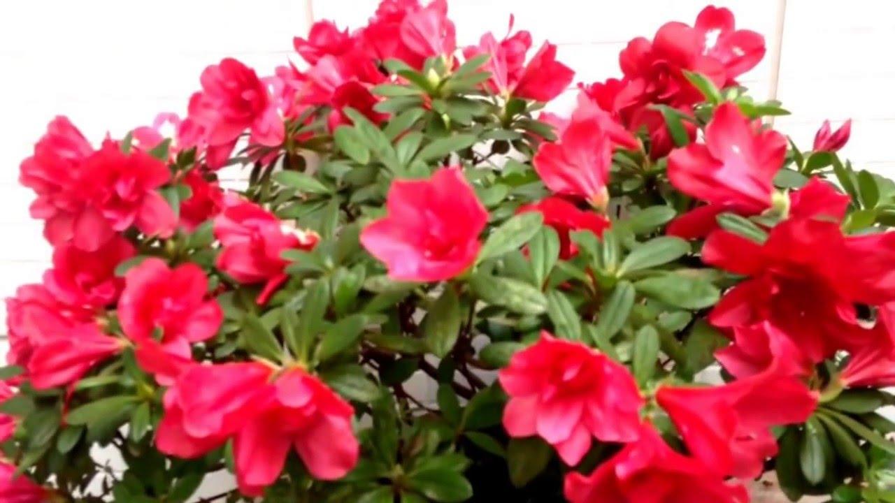 azalea vermelha