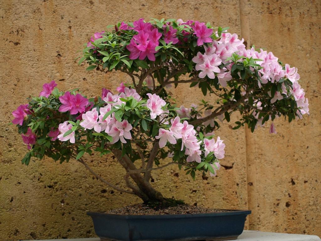 azalea_bonsai