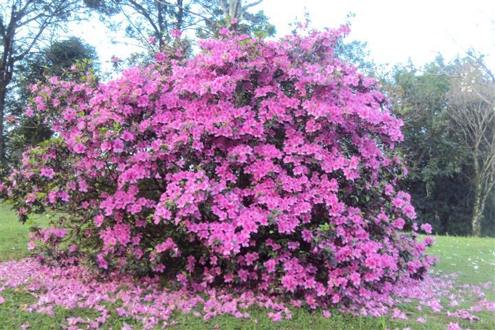 azaleias