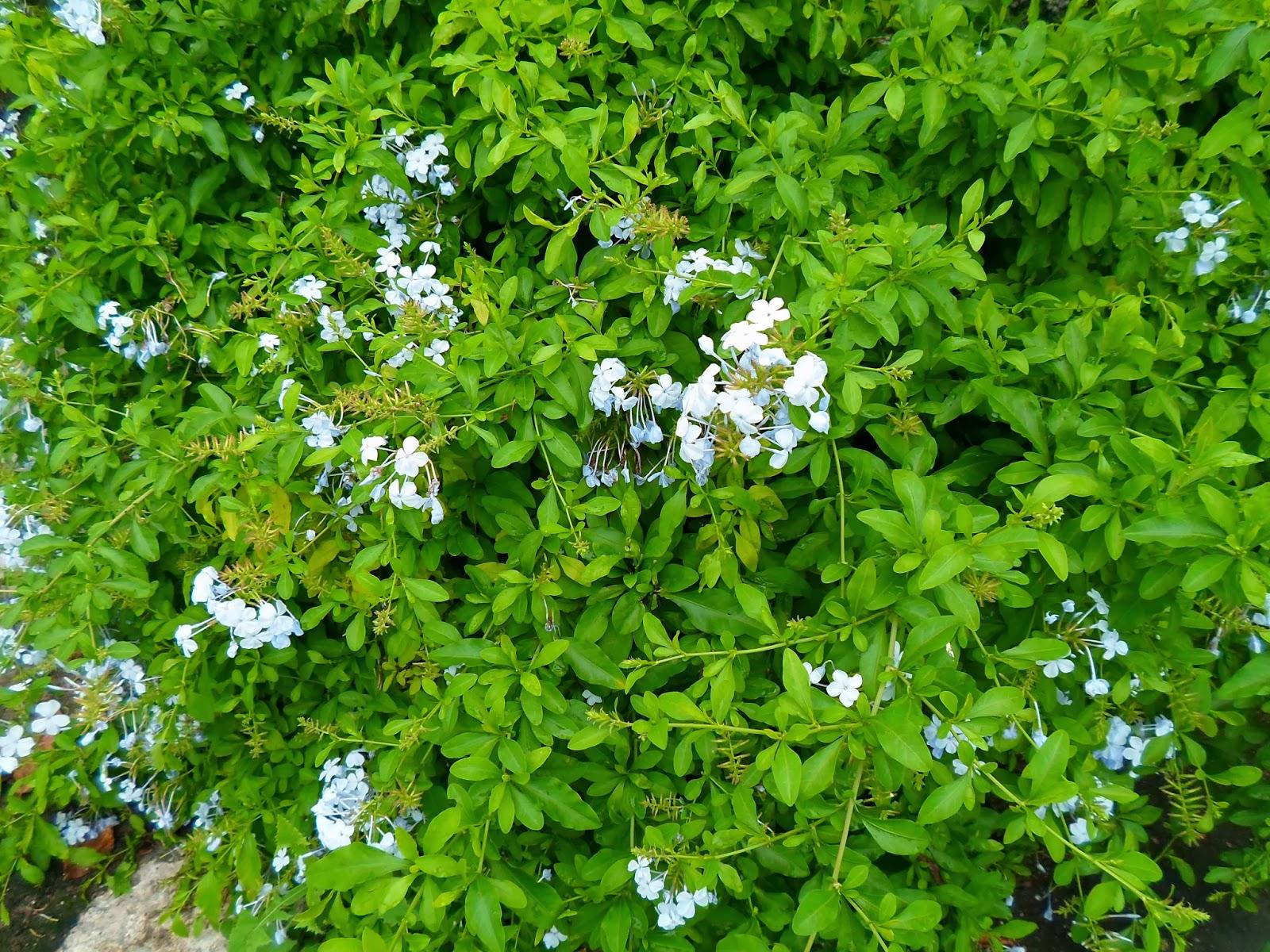 azulzinha (Evolvulus glomeratus)