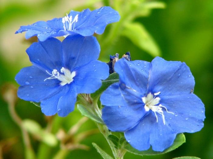 azulzinhaflor